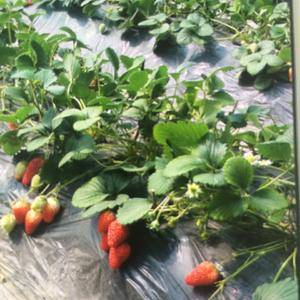 山东东阿占地一百亩,草莓大棚二十个定植完毕生长正常!因个...