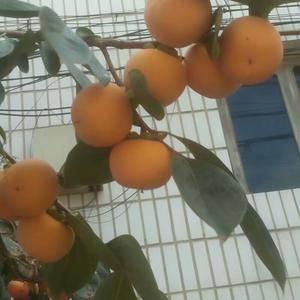 大红袍柿子大量供应中!