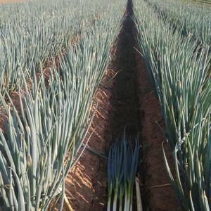 现本地有数十万亩优货铁杆大葱己上市,规格葱白长30一40...