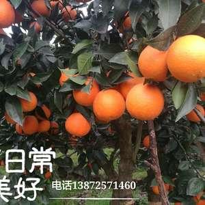 本处大量出售秭归脐橙、长虹、纽荷尔、中华红橙、血橙、伦...