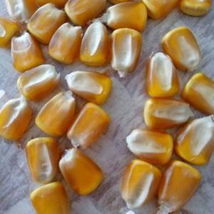 大量出售新玉米,以质论价,联系电话13634447690...