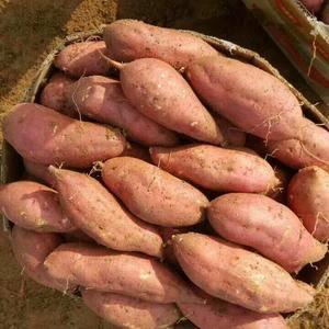 山东红薯大量上市供应,苏八红薯,红香蕉红薯,紫薯,西农4...