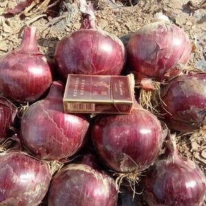 大量代销紫皮,红皮洋葱