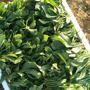 菠菜大量上市电话13645437572
