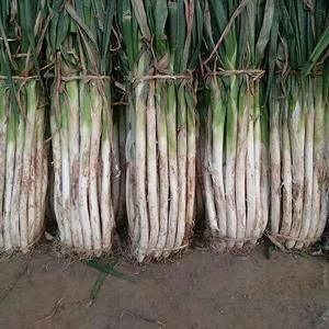 长白大葱和铁杆钢葱大量上市了,白长粗细均匀适合走市场和储...