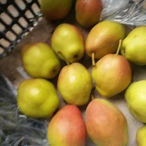 冷库现货红香酥梨砀山酥梨  需要的朋友客户可以致电139...