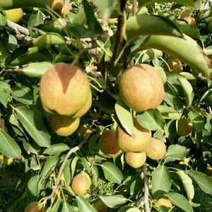 新疆库尔勒香梨 30吨   6元一公斤  联系方式139...