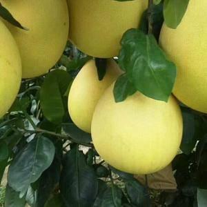 福建平和蜜柚招商
