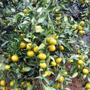 宜昌享有蜜桔之乡的美誉,特早、早熟蜜桔大量上市,皮薄、果...