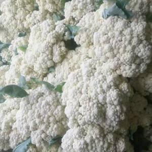 白面青梗松花菜大量上市中,欢迎新老客户前来选购!