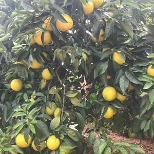 秭归脐橙现大量供应,货源充足,价格优惠,保质保量,果园看...