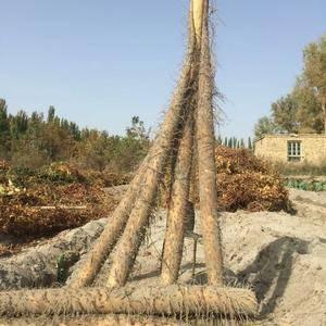 来自新疆的优质白玉山药,即将采挖上市,地处环境优良,日照...
