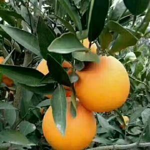 秭归纽菏尔脐橙热卖中!果园看货,以质论价,代办包装,洗果...