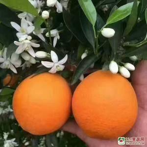 秭归长虹脐橙热卖中!果园看货,以质论价!代办包装,洗果,...