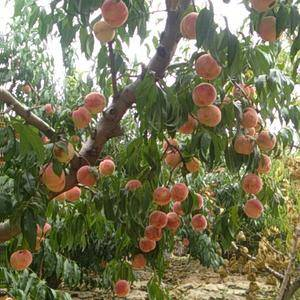 金秋红蜜保鲜在库,映霜红成熟在树,大批量供应,欢迎看货定...