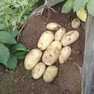 大量供应荷兰十五土豆,肥城土豆因今年雨季来的晚入库基本全...