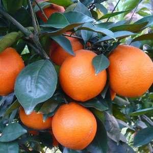本社常年供应:宜昌蜜橘.秭归脐橙.等多个品种.本社还提供...