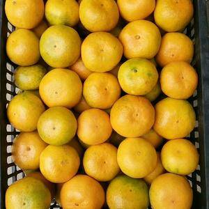 湖北宜昌特产蜜桔大量销售。根据客户需要可以採光果也可以带...