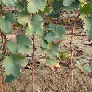 大量供应葡萄苗,超级早熟葡萄苗:春光,密光,宝光,峰光。...