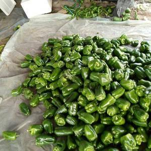 我地区尖椒,圆椒已大量上市