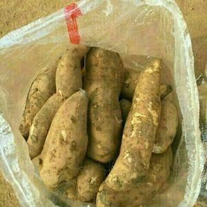 大量供应徐薯18,5号,济薯21,济薯26,大红袍,红香...
