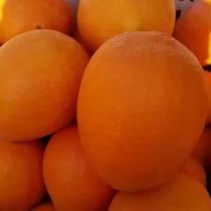 湖北秭归县脐橙、纽荷尔橙、长虹大量上市。高山橙子果大皮薄...