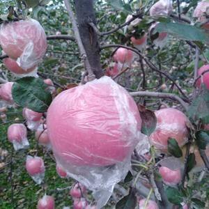 陕西红富士苹果大量上市保质保量个头大色度好口感脆甜有需要...