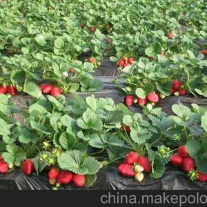 供应徐州台上草莓有着30多年种植经验,,现在规模以超过万...