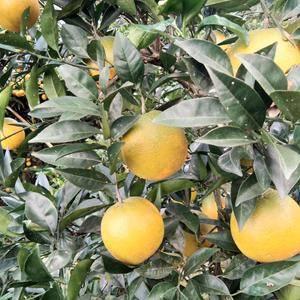 脐橙………椪柑……芦柑可以开始订购,脐橙慢慢下开始变黄到...