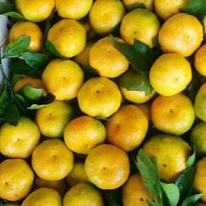 宜昌枝江普早蜜橘大量批发销售,以质论价,量大从优。