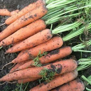 河南开封三红胡萝卜大量上市了!专业代办胡萝卜,质量第一,...