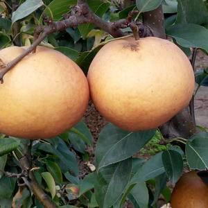 黄金梨,丰水梨,太行蜜梨,晚秋黄梨大量出售量大从优,电话...