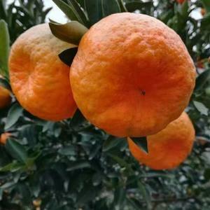我地【蜜桔、秭归脐橙、琯溪蜜柚、椪柑】柑橘现已大量上市【...