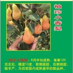 珍宝香袖珍小香梨。烟台地区6月中旬成熟。脆甜,国内最早熟...