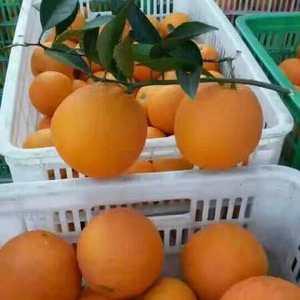 宜昌秭归脐橙大量上市了,口感甜,颜色红,果园看果,鲜果立...