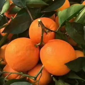 脐橙上市了,欢迎各位朋友来宜订购!