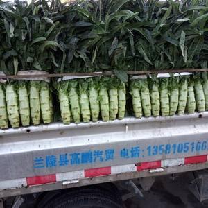 山东省兰陵县红叶莴苣大量上市15065986399