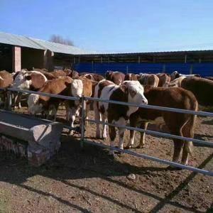 肉牛养殖场,常年出售各个品种牛犊,大小都有,品种好,价格...