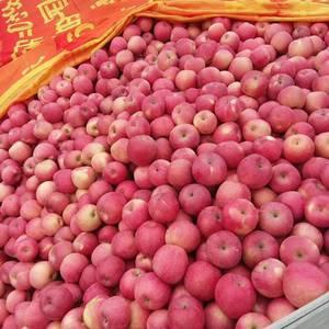 大量出售红富士苹果,寒富苹果红,甜,脆有需要的请电话联系...