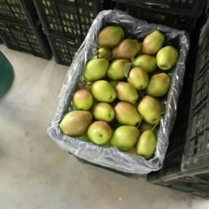 陕西红香酥梨价格,香梨基地批发,15829835959