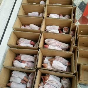 大量出售济薯26,烟薯25,西瓜红,龙薯九,431,纯沙...
