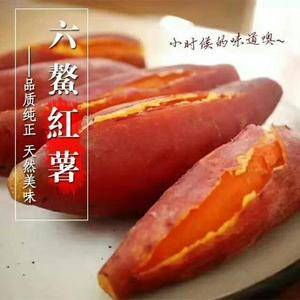 六鳌半岛沙地种植,红心蜜薯,不管你用煮、蒸、烤、等多种做...