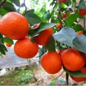 广西蒙山砂糖橘准备上市,欢迎全国各地新老客户前来咨询预定...