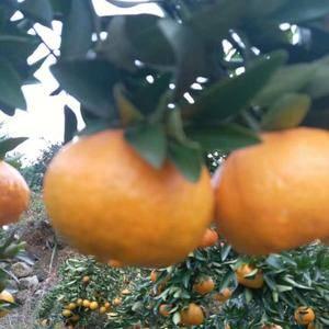 宜昌椪柑现已大量上市,果型好、味甜汁多、入口无渣、耐储存...