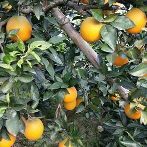 秭归脐橙已经大量上市了,上市品种有:普脐,长虹,纽荷尔,...