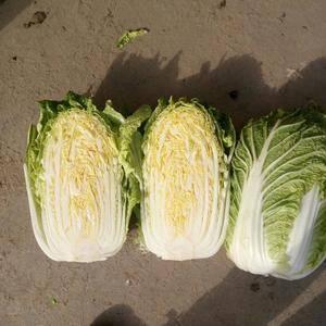 邓州市万亩蔬菜基地,大白菜大量上市了,品种有黄心大白菜,...
