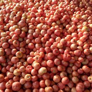 西红柿大落价,另有西葫,芹菜,有机花,菜花,香菜,菠菜,...