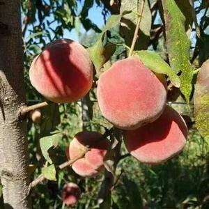 大量有机冬桃上市,可以大量供应,不施农药化肥,有意者联系...