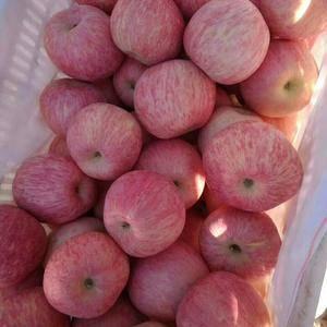 大量红富士苹果供应,货真价实,诚信第一。15853937...