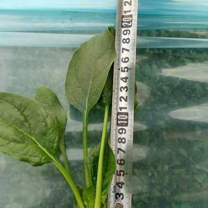 惠民县越冬菠菜大量上市了,价格0.3-0.6元,质量好,...